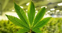 best cannabis stocks